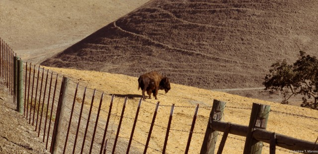 Bison in Solvang, CA